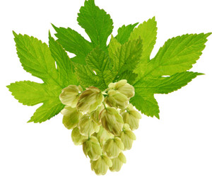 beer, hops and estrogen